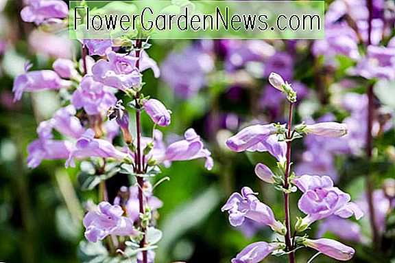 Penstemon x mexicali 'Pike's Peak Purple' (Beardtongue)