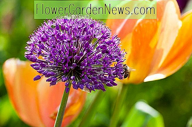 Allium hollandicum 'Purple Sensation' (Zierzwiebel)