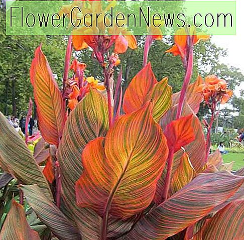 Canna 'Phasion' (Canna Lily)