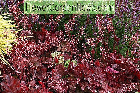 Heuchera 'Fire Chief', Coral Bells 'Feuerleiter', Alum Root 'Feuerleiter', Coral Flower 'Fire Chief', Schattenpflanzen, Immergrüne Pflanzen, Red Heuchera