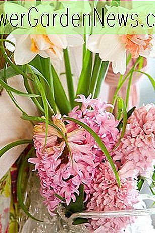 Hyacinthus Orientalis 'Pink Surprise', Hyacinth 'Pink Surprise', Dutch Hyacinth, Hyacinthus Orientalis, Common Hyacinth, Spring Bulbs, Spring Flowers, pink hyacinth, early spring bloomer, mid spring bloo