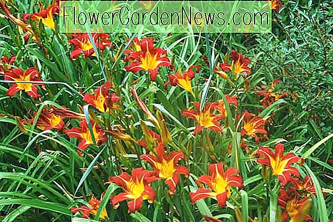 Hemerocallis 'Autumn Red', Taglilie 'Autumn Red', Taglilie 'Autumn Red', 'Autumn Red' Taglilie, Taglilien, Taglilie, Taglilien, Rote Blumen, Taglilie, Taglilie, Hemerocallidaceae, Staude, Pflanze