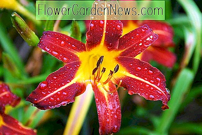 Hemerocallis 'Autumn Red' (Reblooming Daylily)