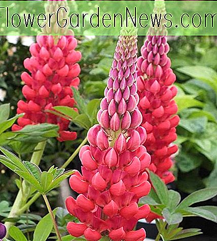 Lupinus 'Beefeater' (Lupin)