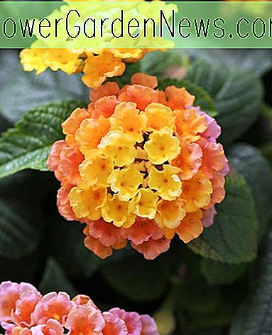 Lantana Little Lucky ™ Peach Glow