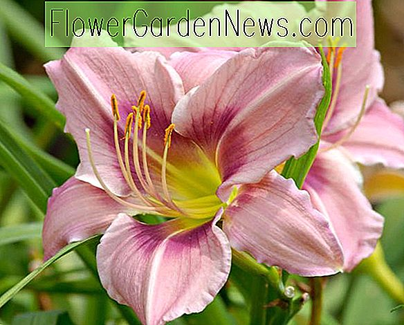 Hemerocallis 'Graceful Eye' (Hémérocalle)