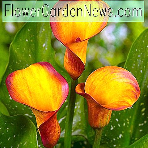 Zantedeschia 'Fire Dancer' (Calla Lily)
