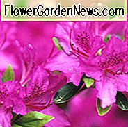 Rhododendron 'Karens', Rhododendron 'April Rose', 'Karens' Rhododendron, Rododendron 'Karen', 'Karen' Rhododendron, 'Karen' Azalea, Early Midseason Azalea, Evergreen Azalea, Purple Azalea, Purpurinis Rododendras, Purpurinis Žydintis krūmas, Evergreen Rhododendron, Violetinė azaleja, violetinė roducendron, purpurinė žydintis krūmas