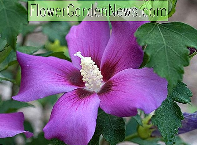 Hibiscus syriacus 'Purple Satin' (Roos van Sharon)