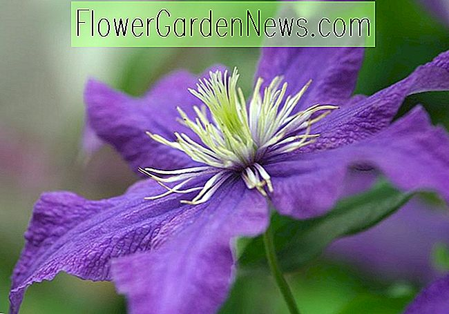 Clematis 'Rhapsody' (Early Large-Flowered Clematis)