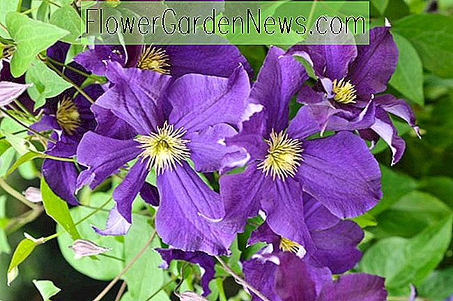 Clematis 'Viola' (Late Large-Flowered Clematis)