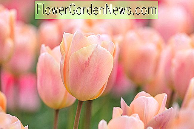 Tulipa 'Apricot Beauty' (Single Early Tulip)