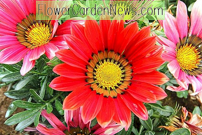 Gazania (Treasure Flower)