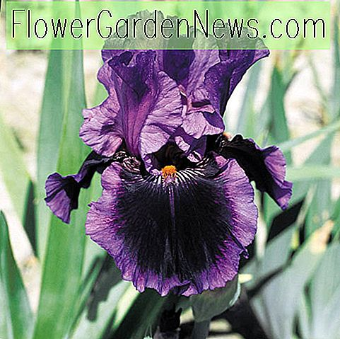 Iris 'Pagan Dance' (Reblooming Bearded Iris)