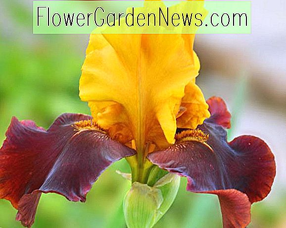 Iris 'Taco Supreme' (Bearded Iris)