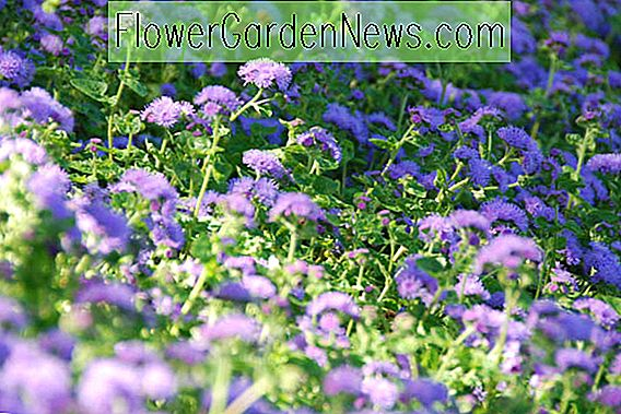 Ageratum houstonianum (Floss Flower)