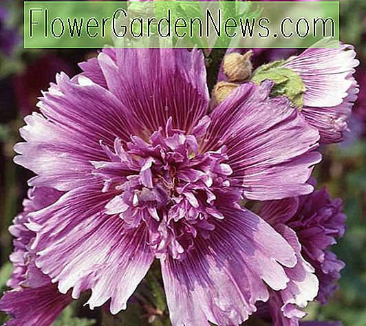 Alcea rosea 'Queeny Purple' (Hollyhock)