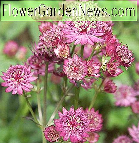Astrantia major 'Star of Beauty' (Groot oudkruid)