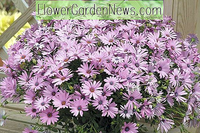 Osteospermum 'Sopran Light Purple' (African Daisy)