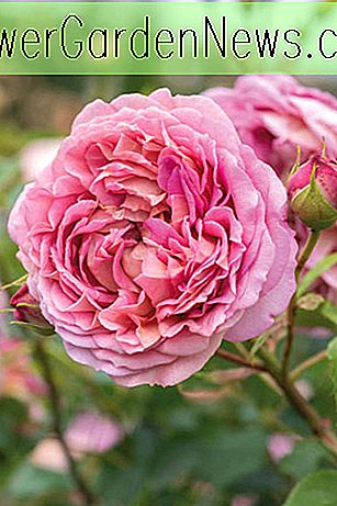 Rose Jubilee Celebration, Rosa Jubilee Celebration, Engelse Rose Jubilee Celebration, David Austin Roses, Engelse rozen, Engelse roos, struikrozen, rozenstruiken, tuinrozen, roze rozen