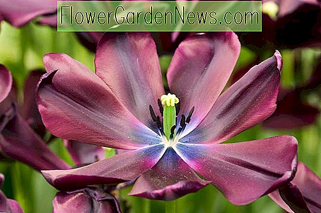 Tulipa 'Cafe Noir' (Tulipe simple tardive)