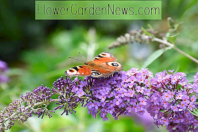 Buddleja 'Blue Chip' (Butterfly Bush)
