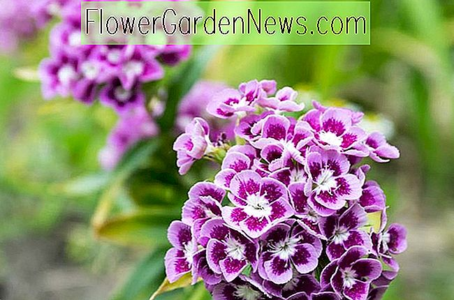 Dianthus barbatus 'Auricula Eyed Mixed' (Sweet William)