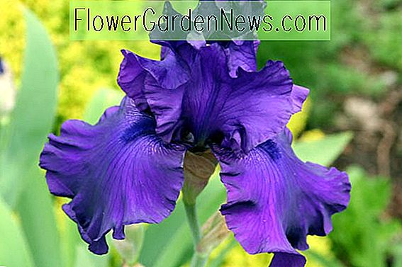 Iris 'Blueberry Bliss' (Schwertlilie)