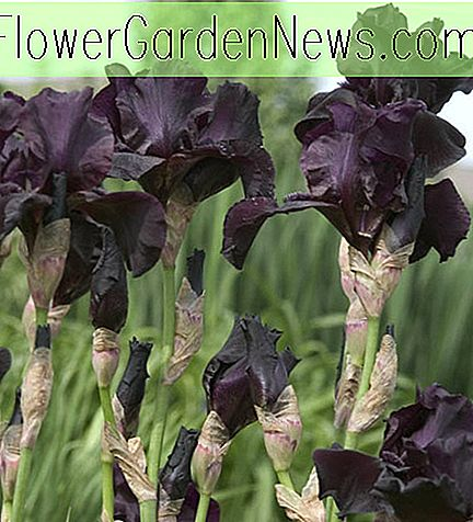 Iris 'Before The Storm' (Bearded Iris)