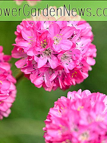 Armeria maritima (Sea Thrift)