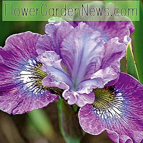 Iris sibirica 'Strawberry Fair' (Sibirische Iris)