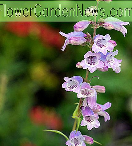 Penstemon 'Stapleford Gem' (Bartfaden)