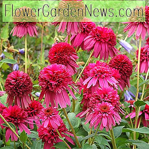 Echinacea 'Secret Affair' (Sonnenhut)