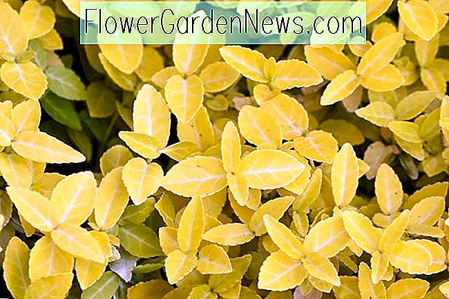 Euonymus fortunei 'Goldy' (Wintercreeper)