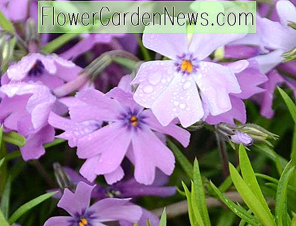 Phlox subulata 'Purple Beauty' (Creeping Phlox)