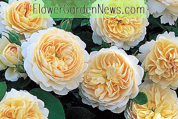 Rosa 'Crocus Rose' (Ausquest)