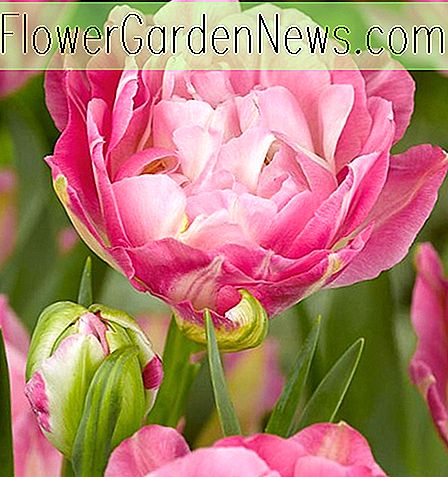 Tulipa 'Double Sugar' (Double Late Tulip)