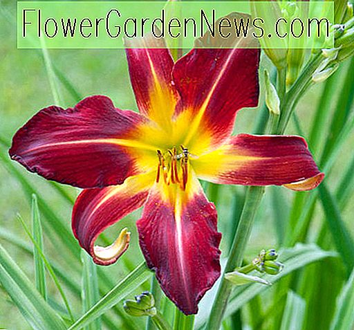 Hemerocallis Holly Tänzerin, Daylily Holly Tänzerin, Taglilie Holly Tänzerin, Holly Tänzer Daylily, Taglilien, Tag Lilien, Spider Daylilies, Spinne Daylily, rote Taglilie, rote Taglilie, rote Hemerocallis