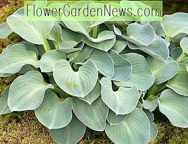 Hosta 'Blue Mouse Ears' (Wegerich Lilie)