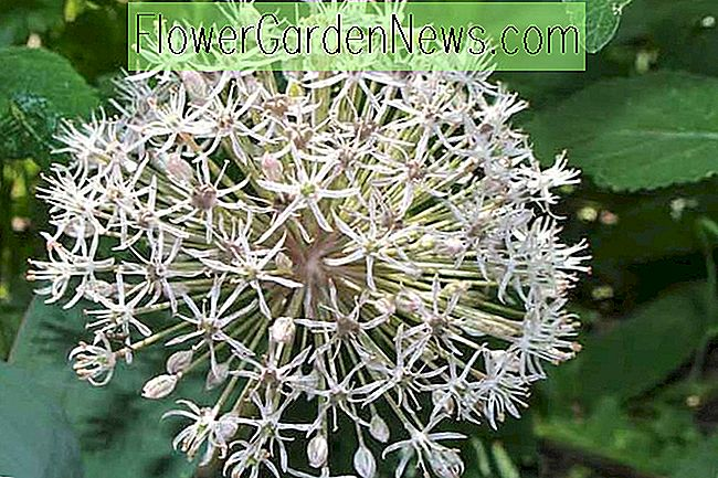 Allium karataviense (Turkestan หอม)