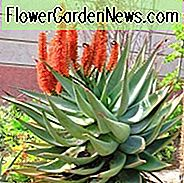 Aloe ferox, Kap Aloe, Bergaalwyn, Bitter Aloe, Red Aloe, Alligator Kiefer Aloe, Orangenblüten, Sukkulenten, Aloen, Trockenheit tolerante Pflanzen, Aloe Kandelaber