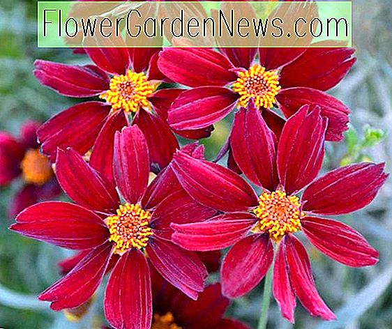 Coreopsis 'Red Satin' (Tickseed)