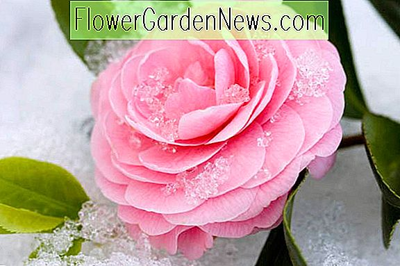 Cold Hardy Camellias