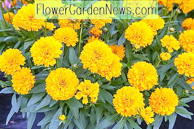 Coreopsis 'Solanna Golden Sphere' (Tickseed)
