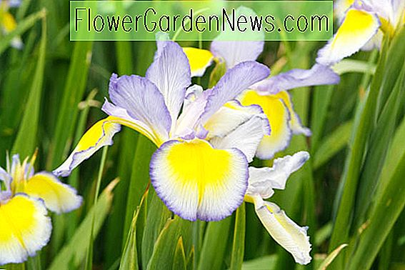 Iris spuria 'Missouri Rainbows' (blauwe iris)