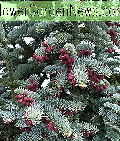 Abies procera 'Glauca' (Blue Noble Fir)