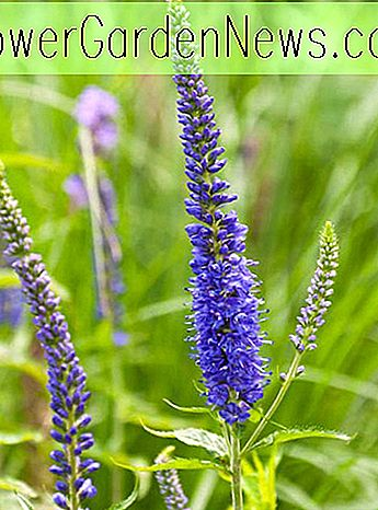 Veronica longifolia 'Blue Giant' (Speedwell)
