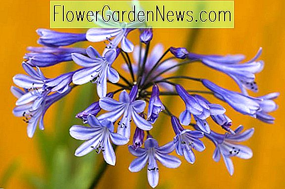Agapanthus 'Loch Hope' (African Lily)