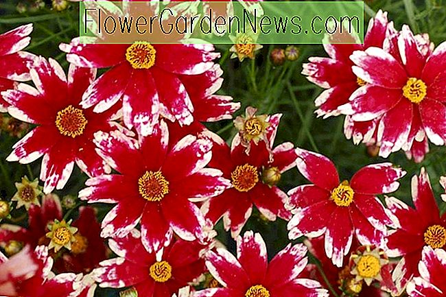 Coreopsis 'Ruby Frost' (Tickseed)