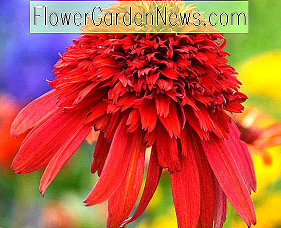 Echinacea 'Hot Papaya' (Sonnenhut)